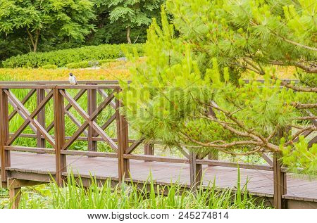 Azure Winged Magpie Perched On A Wooden Footbridge In A Public Park Surrounded By Lush Vegetation.