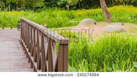 European Sparrow Perched On Railing Of Wooden Footbridge In A Public Park On Sunny Day.
