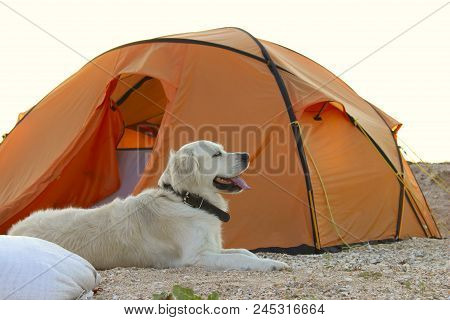 The Dog Is Lying Near Tent.camping Tent In Wilderness By The Seaside. Tent. Dog. Golden Retriever Gu