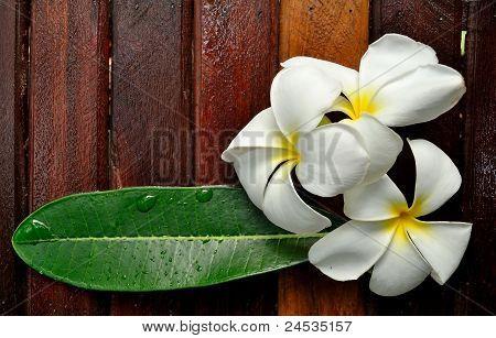 A white plumeria