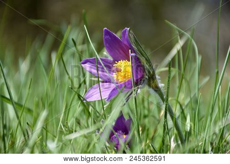 Closeup Of A Beautiful Blossom Pasque Flower In The Green Grass