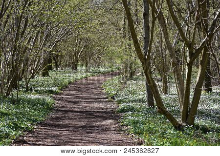 Springtime With A Beautiful Footpath Surrounded With Wood Anemones