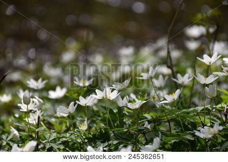 Closeup Of A Bucnh Windflowers On The Ground In A Low Angle Image