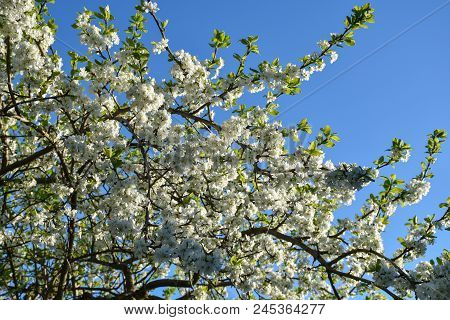 Branches In A Beautiful Blossom Plum Tree By A Blue Sky