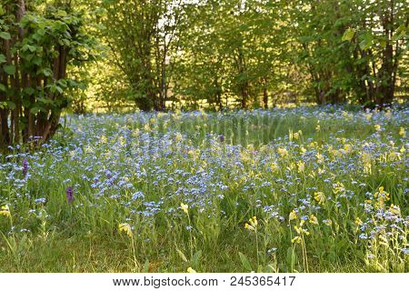 Colorful Growing Summer Flowers In Blue And Yellow