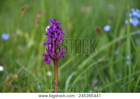 Beautiful Growing Early Purple Orchid Closeup With A Natural Green Background And Copy Space