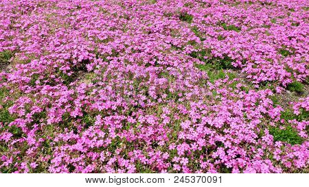 Pink Moss Background. Pink Moss Phlox Flowers And Red Of One Side. Moss Phlox Of Japan That Is Bloom