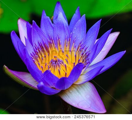 Close Up Of A Purple Lily In A Pond.