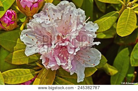 Rhododendron Plants In Bloom With Flowers Of Different Colors. Azalea Bushes In The Park With Differ