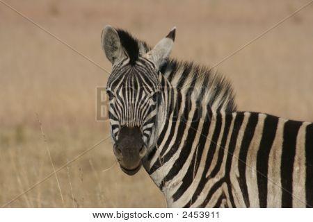 Zebra In Africa.