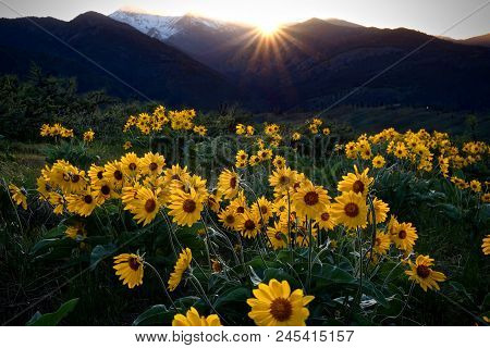 Arnica Meadows At Sunrise. Balsamroot Sun Flowers Lit By Rising Sun In Cascade Mountains Near Winthr