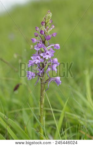 Common Fragrant Orchid - Gymnadenia Conopsea  In Grassland