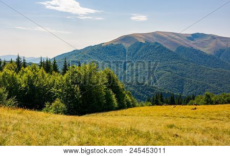 Forest On A Grassy Meadow On Top Of A Hill. Beautiful Summer Landscape With High Mountain In The Dis