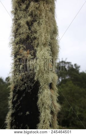 Usnea Lichen Tincture On The Tree In Panama