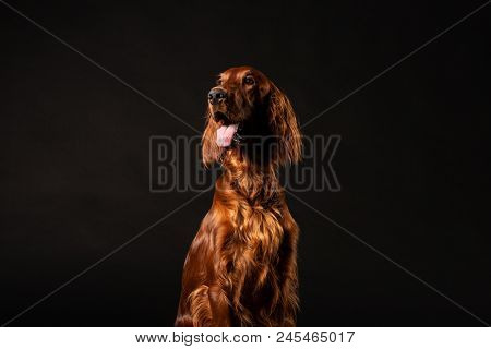 Portrait Of Irish Setter Dog Isolated On Black Background