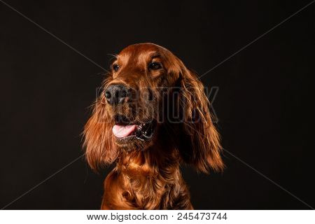 Portrait Of Irish Setter Puppy On Black Background