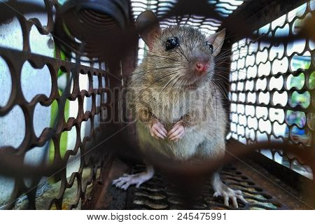 Closely Rat Cage Traps Close-up Rat Caught In A Trap