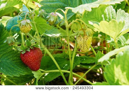 Bush Of Strawberry With Red Ripe And Unripe Berries