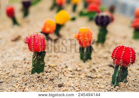 Moon Cactus Or Gymnocalycium Mihanovichii, The Mutant Cactus Grafted On To Hylocereus Rootstock Macr