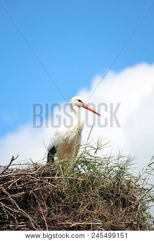 Stork On A Nest With Blue Sky And White Cloud In Sunny Day.