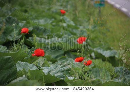 Poppy In The Grass Along The Field In Nieuwerkerk Aan Den Ijssel