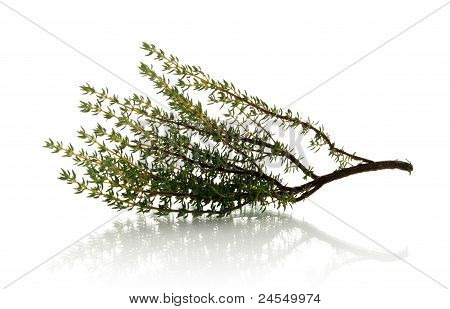 Thyme Over White