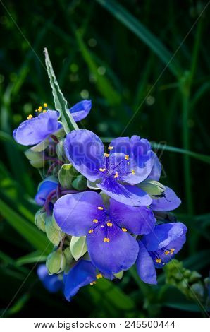 Closeup Of Spiderwort Plant Or Tradescantia Ohiensis In Full Bloom Revealing Petals Stamen And Sepal