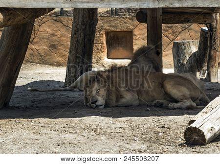 Two Sleepy Lions Sleeping In The Shadows