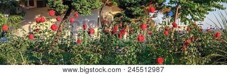 Flowering Red Roses In The Park Of Sochi. Russia.