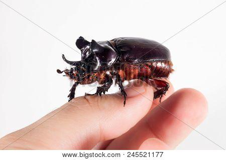 Ox Beetle - Strategus Aloeus, A Species Of Rhinoceros Beetle Sitting On Fingers