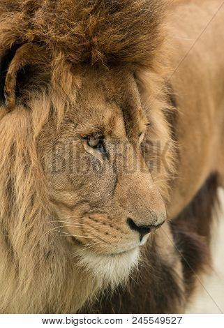 Stunning Intimate Portrait Image Of King Of The Jungle Barbary Atlas Lion Panthera Leo