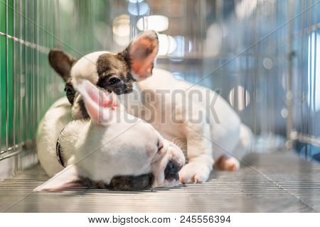 Puppy Wait In Dog Cage In Pet Shop Hope To Freedom