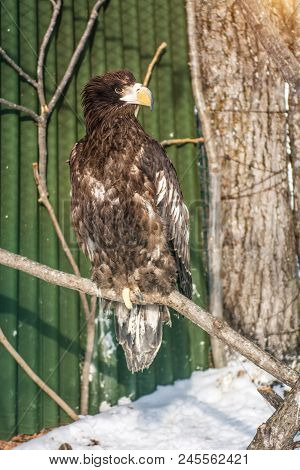 White-tailed Eagle, The Beautiful, Large Bird Of Prey. Bright, Strong Bird. In The Open Site