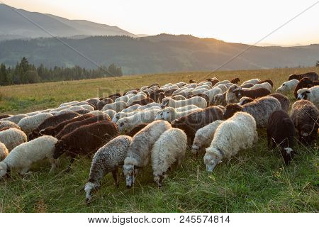 A Herd Of Sheep On A Hill In The Rays Of Sunset. Sheep Graze.