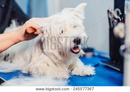 Female Groomer Haircut West Highland White Terrier Dog On The Table For Grooming In The Beauty Salon