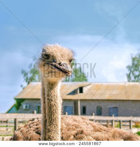 Domesticated wild african ostrich (struthio camelus) in an aviary on a ostrich farm. Wild ostriches on a bird farm. Square. With instagram format. Outdoors. poster