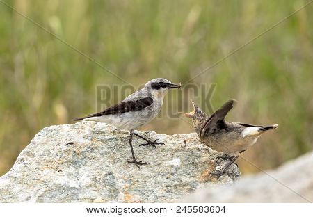 Northern Wheatear, Oenanthe Oenanthe, A Male Bird In Breeding Plumage, About To Feed Its Young Fledg