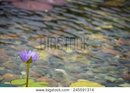Floating 1 Purple Lotus Flower In The Pond With The Rocks On The Ground