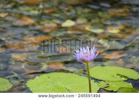 Floating 1 Light Purple Lotus Flower In The Pond With The Rocks On The Ground