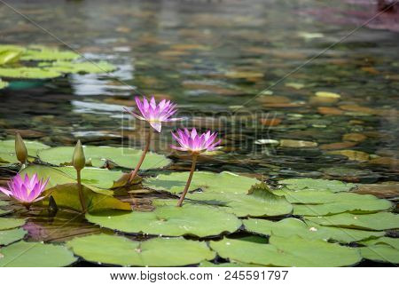 Floating 2 Pinks Lotus Flower In The Pond With The Rocks On The Ground