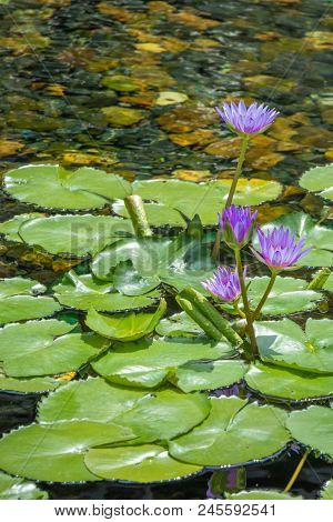 Floating 4 Beautiful Purple Lotus Flower In The Pond With The Rocks On The Ground