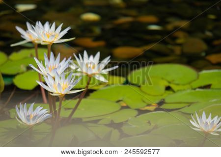 Floating 4 Whites Lotus Flower In The Pond With The Rocks On The Ground