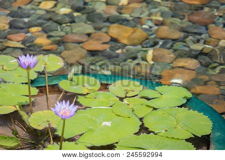 Floating Pink Lotus Flower In The Pond With The Rocks On The Ground