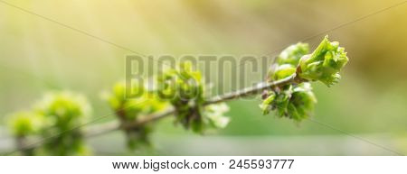 Spring Background With Branch And Blooming Young Green Leaves. Close Up Of Green Branch In Sunlight