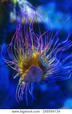 Snakelocks sea anemone (Anemonia viridis), a sedentary marine coelenterate in a group of marine, predatory animals of the order Actiniaria, found in the eastern Atlantic Ocean to the Mediterranean Sea poster