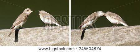 Two Spotted Flycatcher Exchanging Food. Spotted Flycatcher.  The Spotted Flycatcher (muscicapa Stria