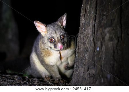 A Common Brushtail Possum (trichosurus Vulpecula) In A Wooded Area Of Victoria, Australia.
