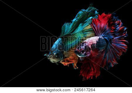 Fine Art Siamese Fighting Fish, Betta Fish, Betta Splendens Two Fighters Half Moon