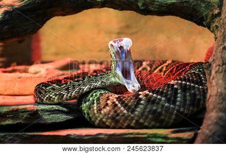 An Adult Eastern Diamondback Rattlesnake (crotalus Adamanteus) In Mid-strike, Revealing Its Fangs An