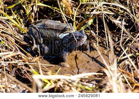 Two Frogs In A Small Forest Pond Swim And Crawl On Top Of Each Other. A Lot Of Grass Grows In The Po